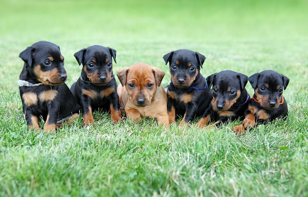 The Miniature Pinscher puppies