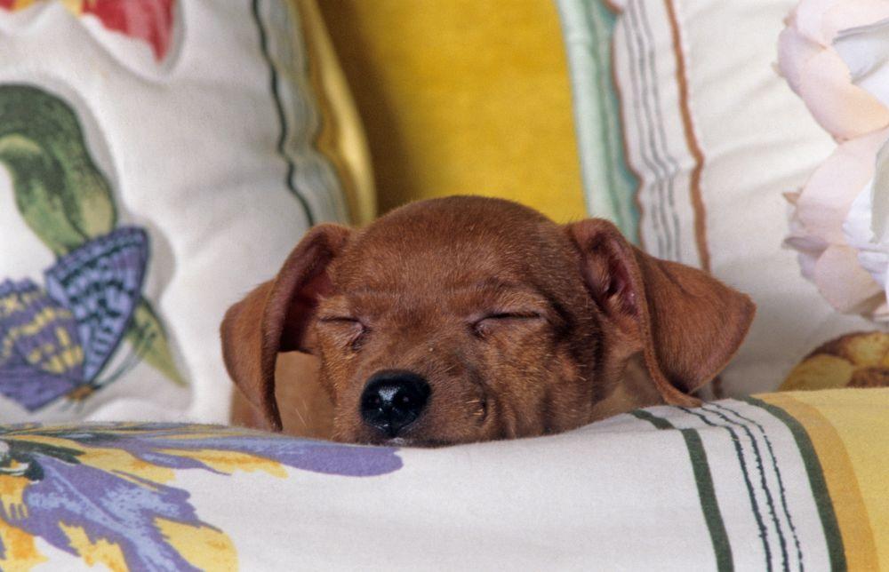 Zwergpinscher am Schlafen