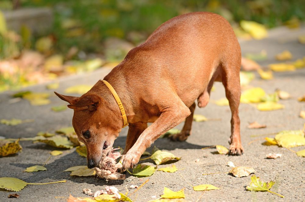 Gute Hundefutter für Zwergpinscher erkennen.