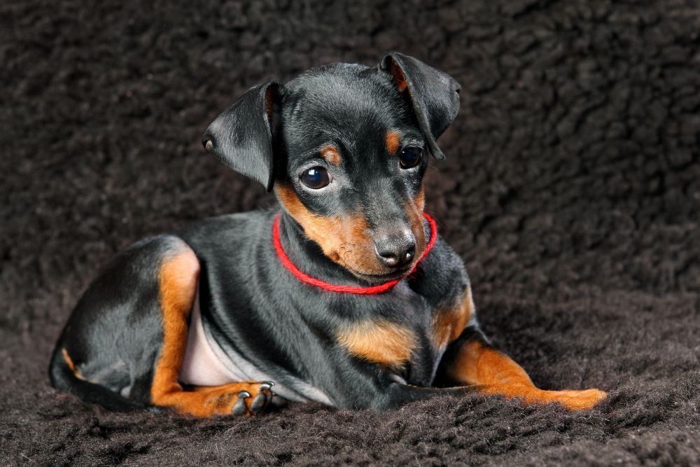 2,5 Monate alter Zwergpinscher