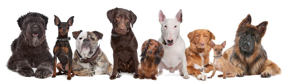 Zwergpinscher Lebenserwartung im Vergleich mit anderen Hunden