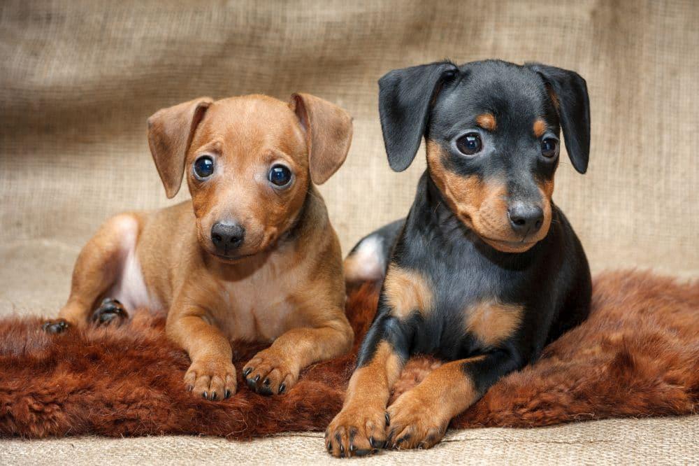 Hunderasse Zwergpinscher